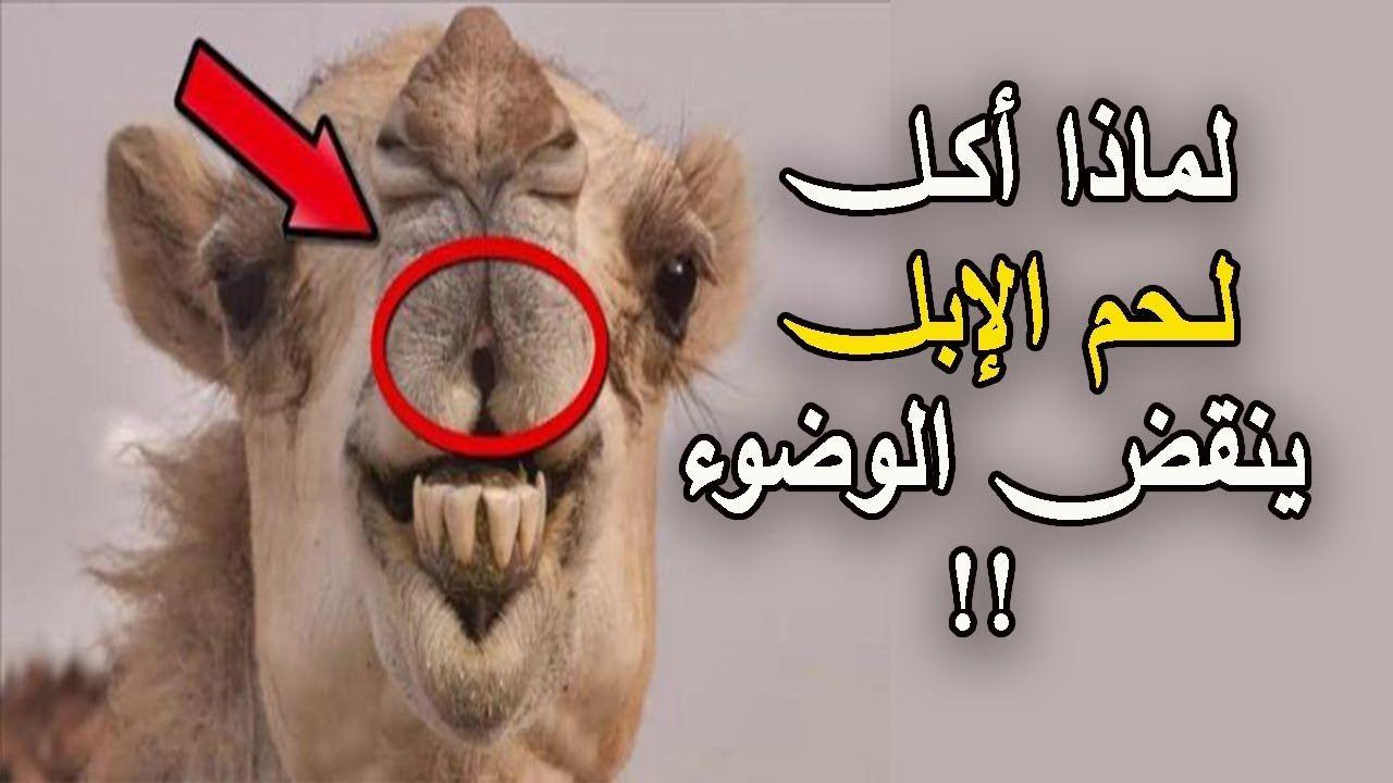 هل تعلم لماذا أمر الرسول ﷺ بالوضوء بعد أكـل لـحم الإبل حقائق مثيرة عن الابل Youtube Islam Beliefs Cute Animals Islam