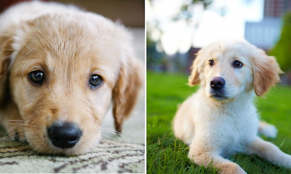 12 Pictures Of Golden Retriever Puppies To Instantly Brighten Up