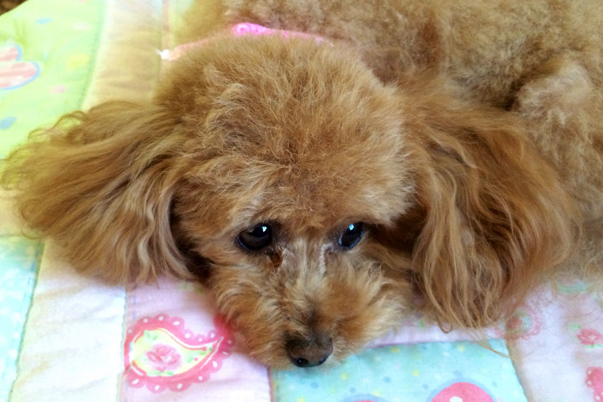 My Baby Girl A 5 Lbs Loving Toy Poodle Pretty Poodles Poodle