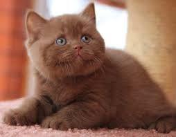British Short Haired Cinamon Kitten 5 British Shorthair Kittens