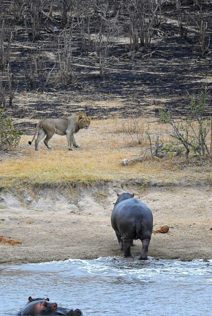 lion hippo at Transport Dam #Hippo #Lion #Bigfive #KrugerPark #NaturePhotography #TransportDam #WildlifePhotography #PhotoSafari #Kruger2Kalahari #krugernationalpark