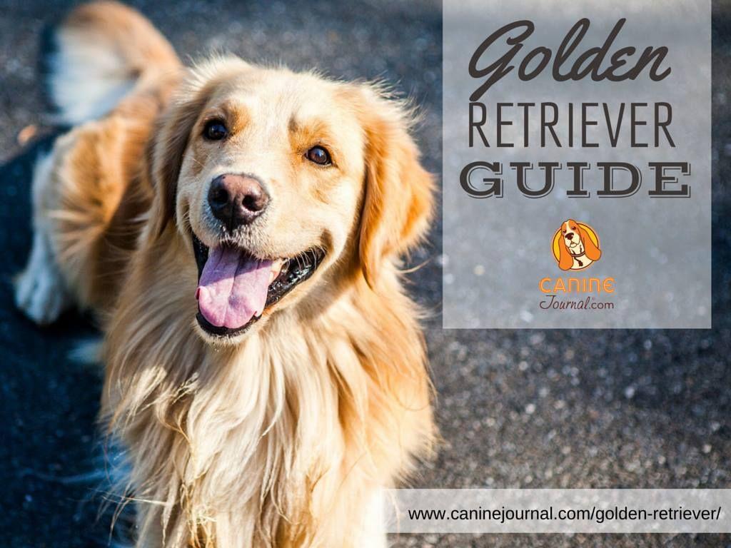 Golden Retriever A Popular Family Dog Dog Breeds Dogs Family Dogs