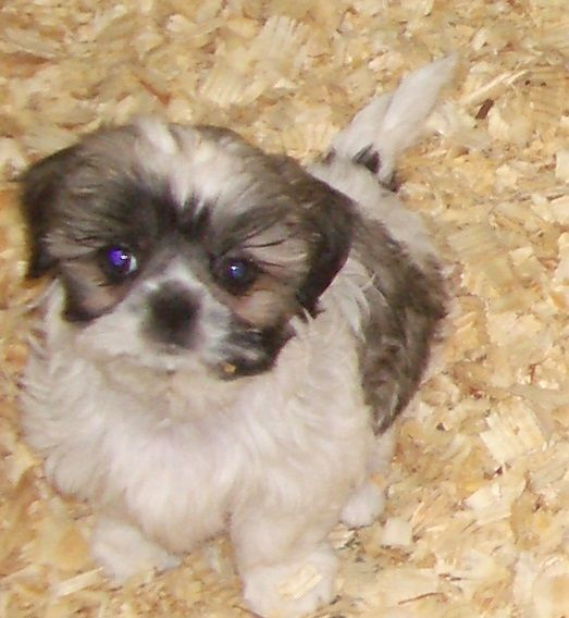 Shih Tzu Puppy For Sale In Carrollton Ga Adn 30367 On