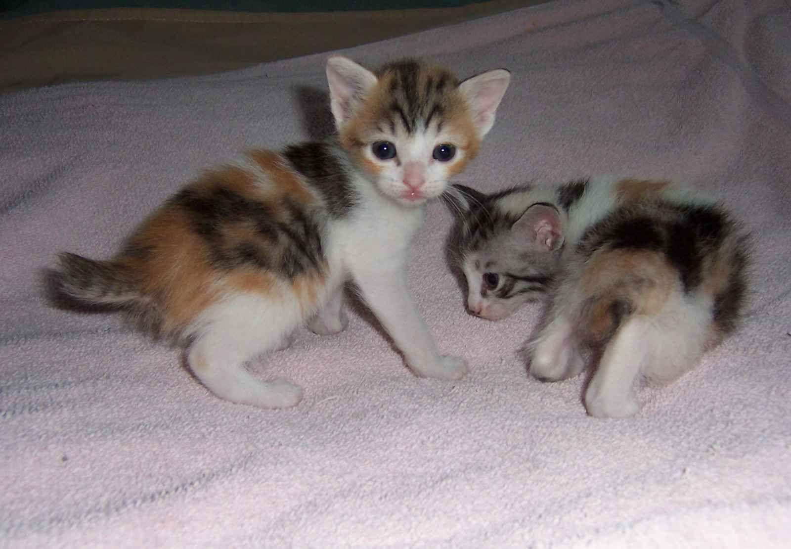 Japanese Bobtail Bobtail Cat Kitten Breeds Cutest Kitten Breeds