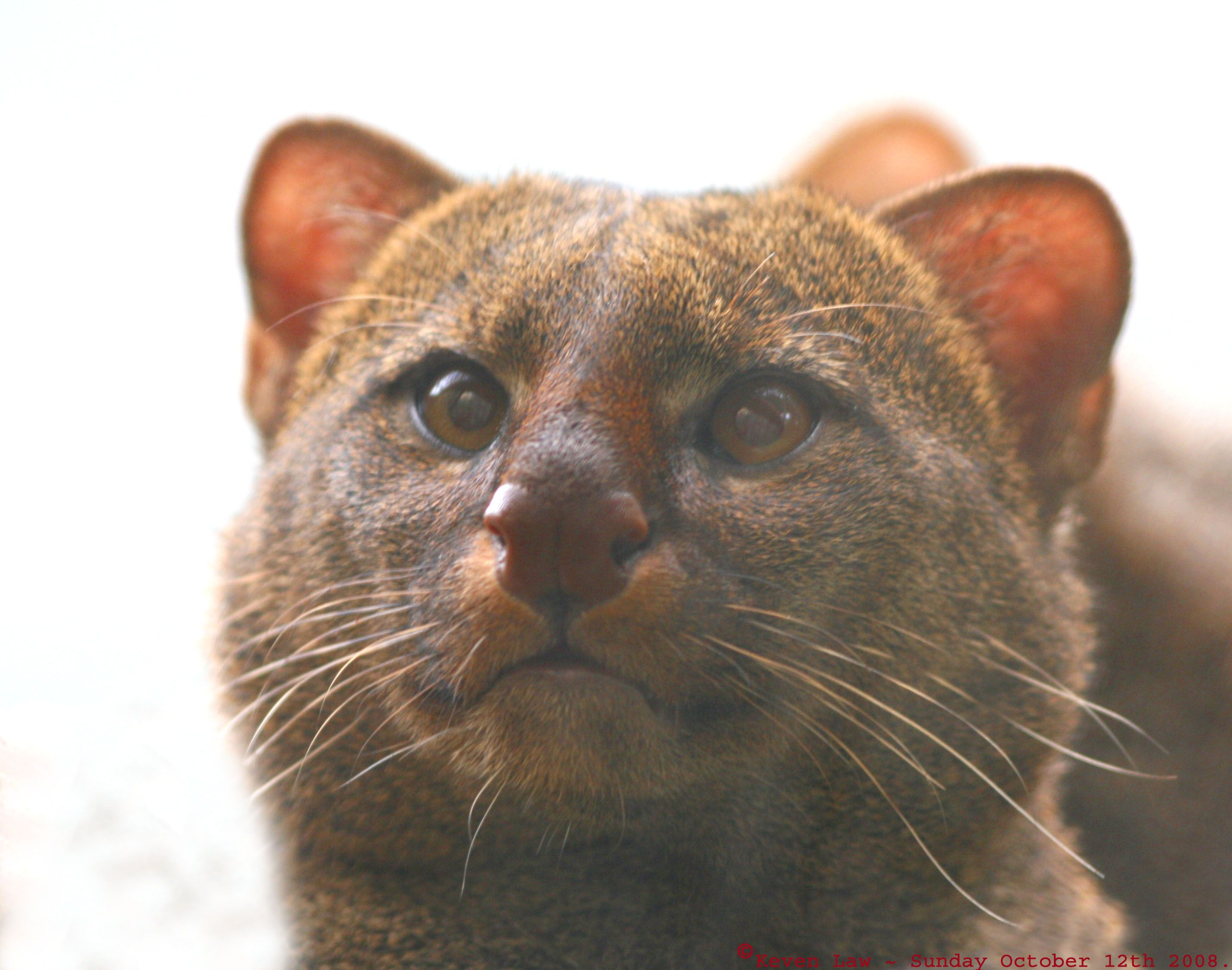 The Gulf Coast Jaguarundi... a beautiful sub species that