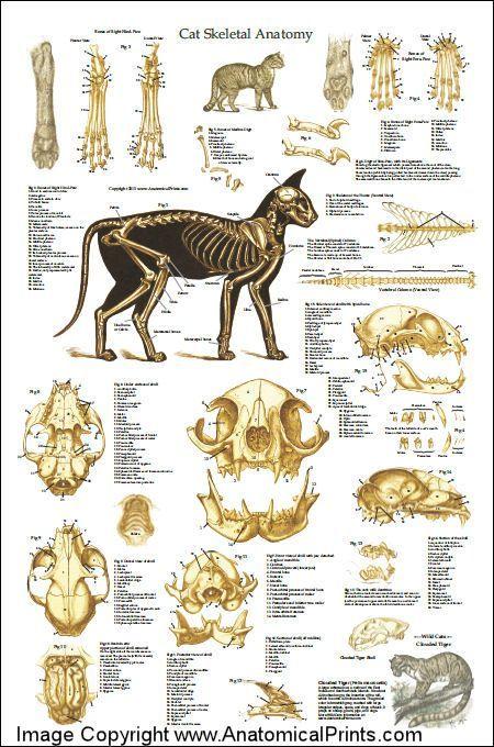 Cat Skeletal Anatomy Poster 24 X 36 Education Pinterest