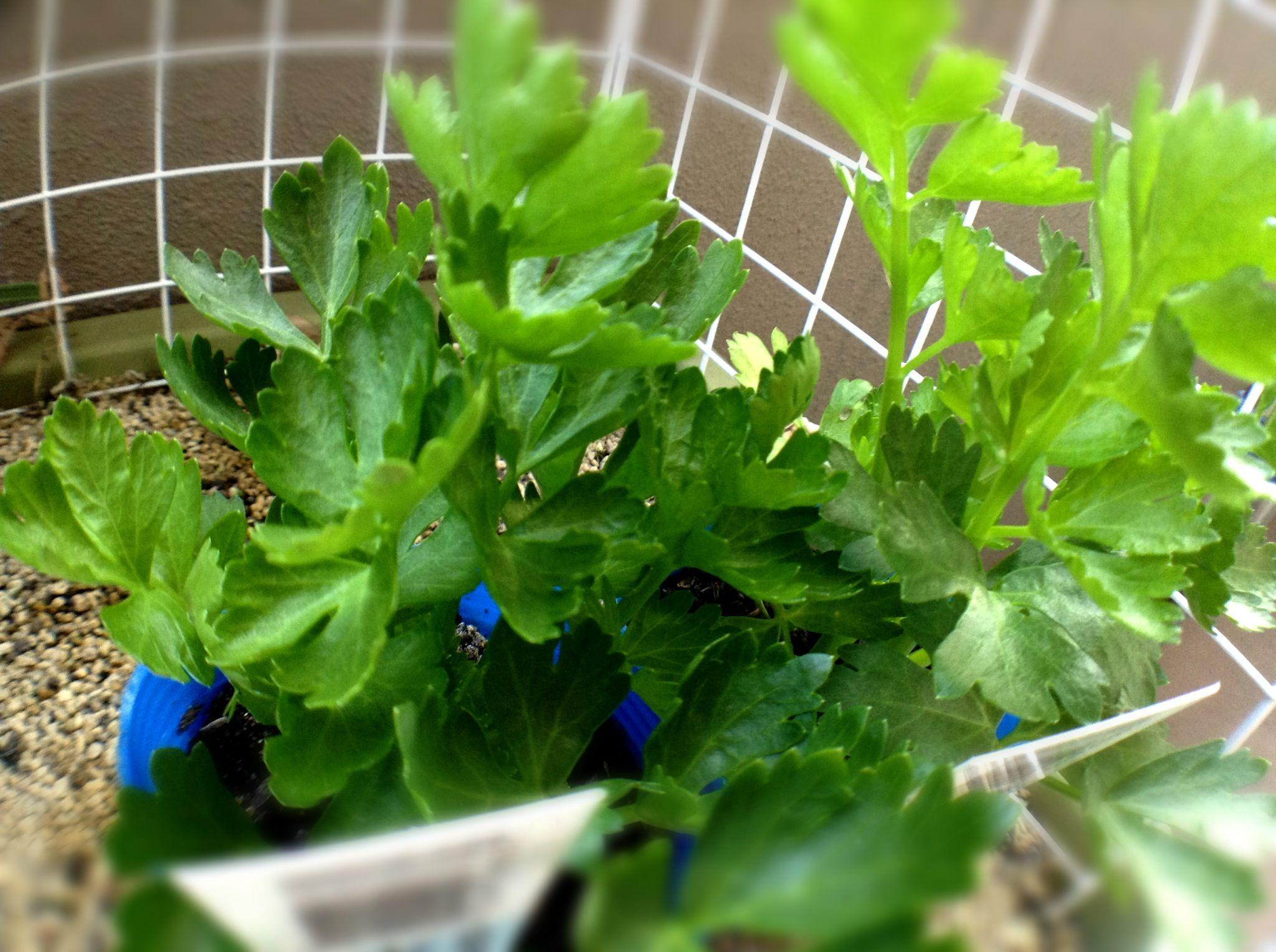 おはようございます。 セルリーの苗を買いました。 難しそうですが、うまく育つかな? 今日も元気に楽しく♪