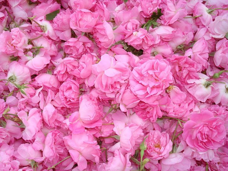 How To Use Rose Water For Skin And Hair Care And In Culinary Recipes Rose Fragrance Vanilla Perfume Bulgarian Rose