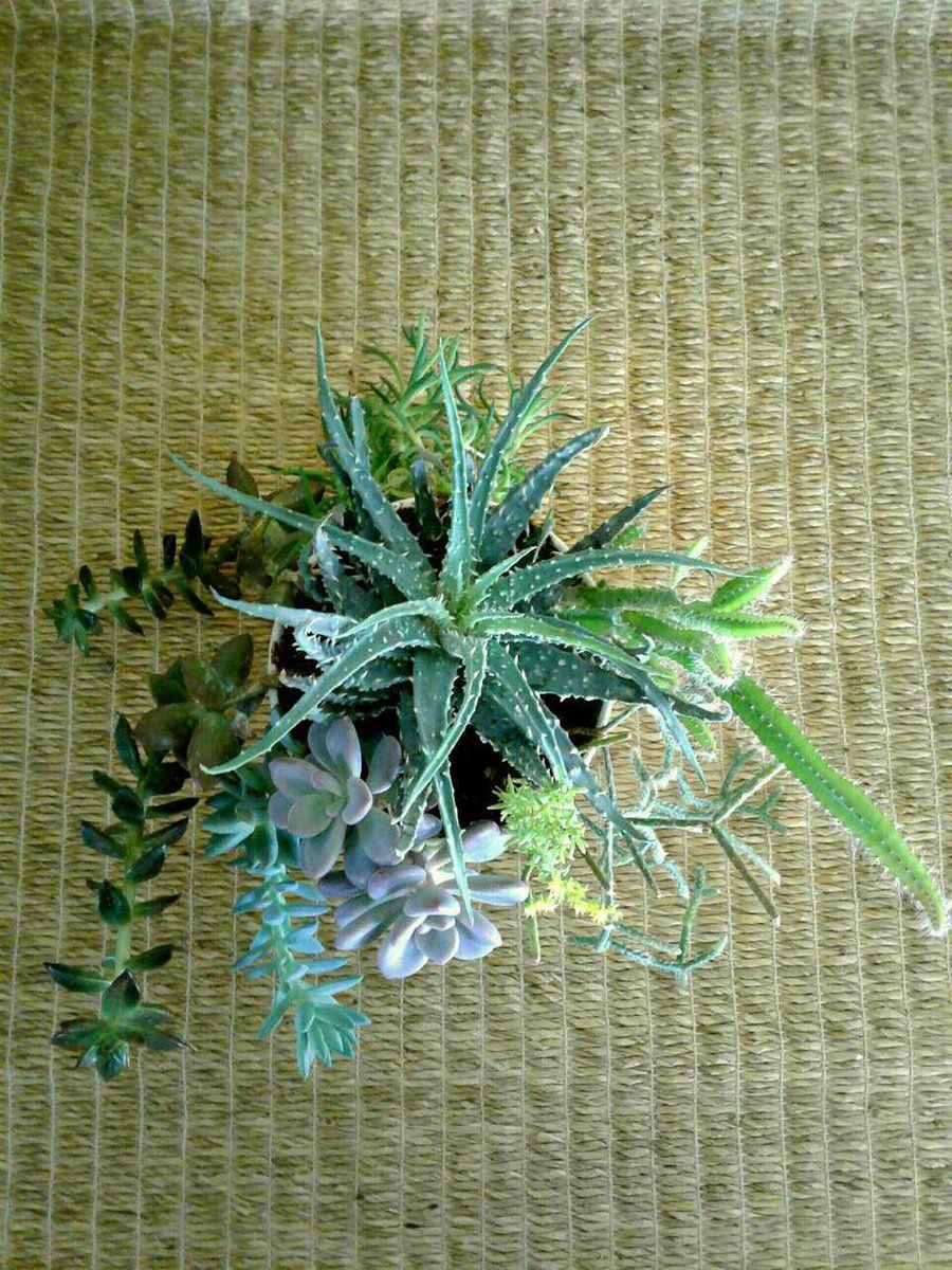 Succulents (aloe, sedeveria, graptopetalum, sedum, dogtail
