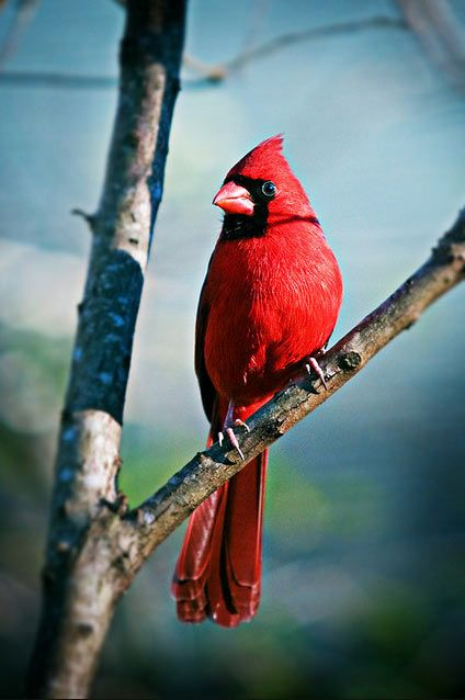For the first time ever I spotted a Cardinal today! Mascot of my hometown~