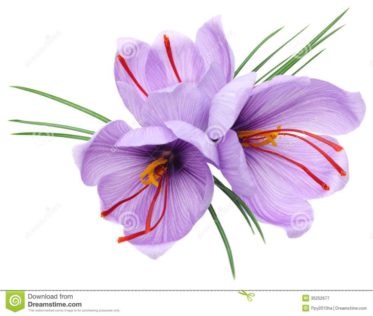 saffron-flowers-crocus-isolated-white-background-35252677.jpg ...