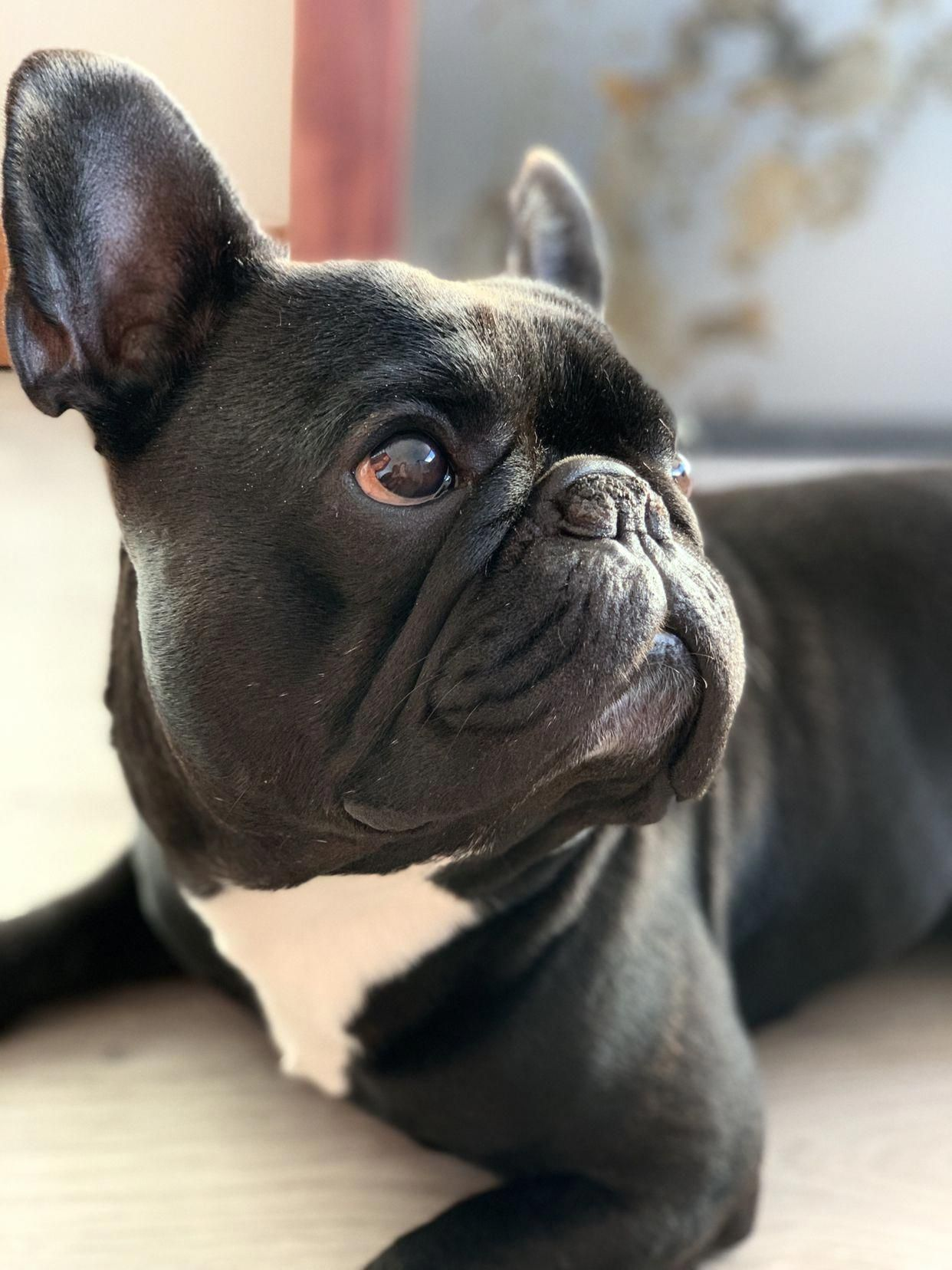 Everything About The French Bulldog Dog Temperament
