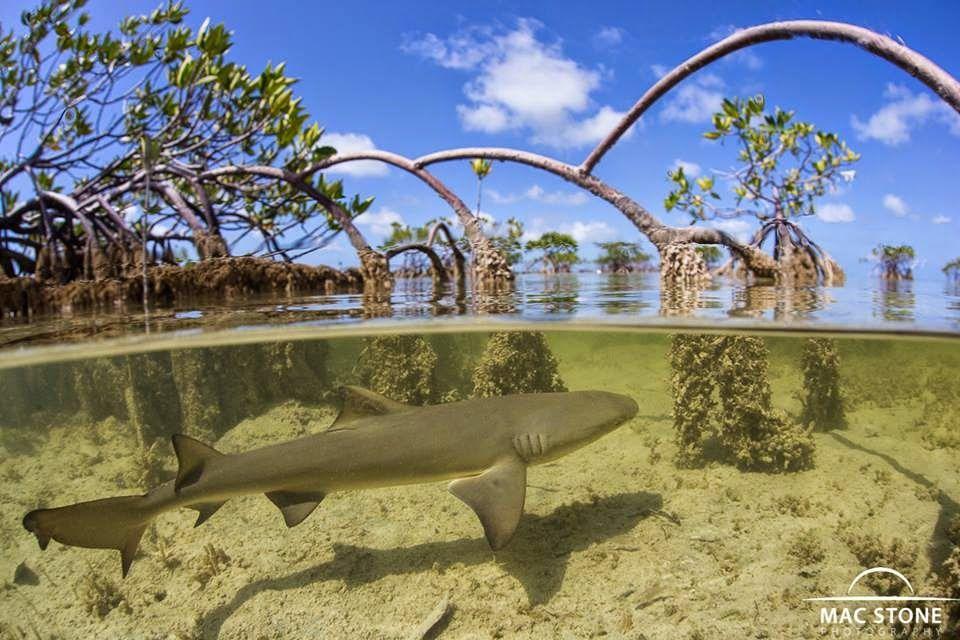 Shark Swimming Mangrove Shark Nursery Shark