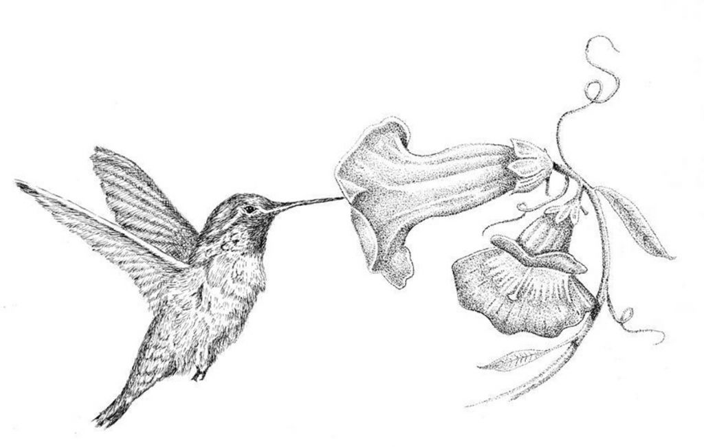 Hummingbird Flower Drawing Hummingbird Flower Drawing 1 Best Images