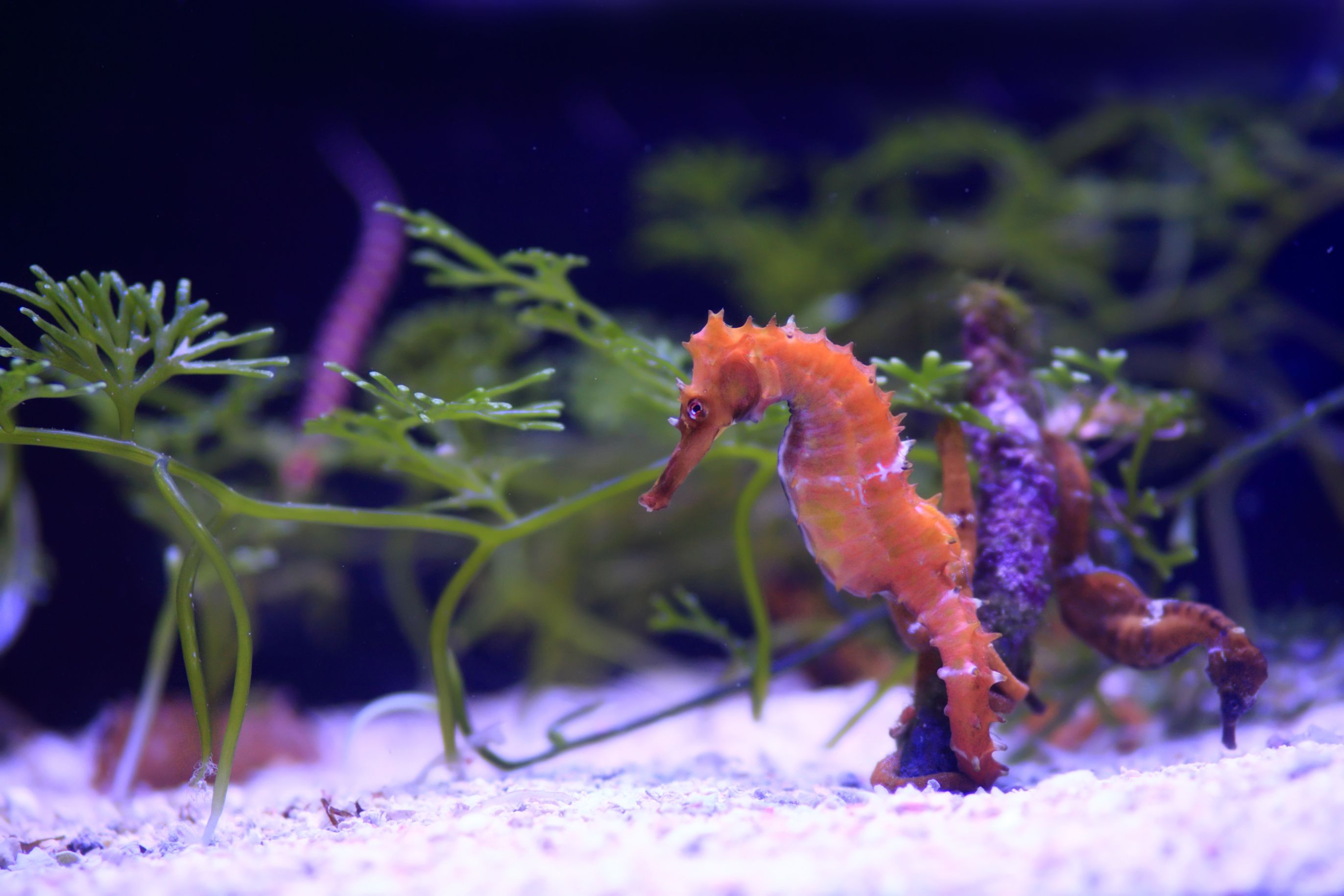 Seahorse And Pipefish Articles Seahorse Pet Paws Online Pet Store