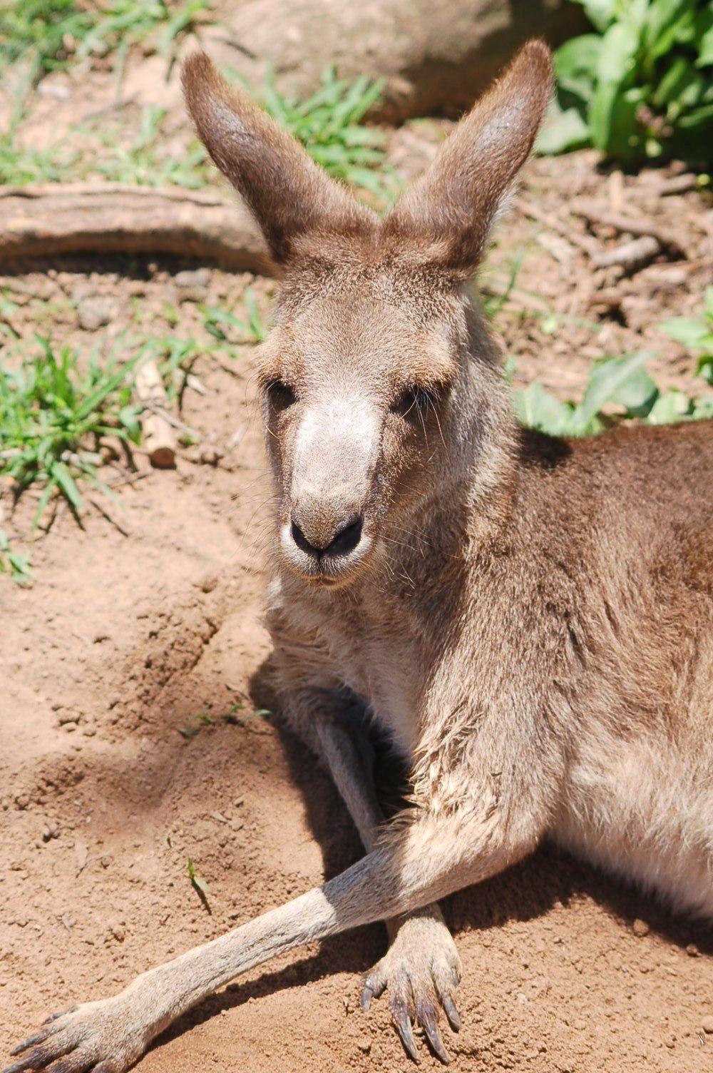 Kangaroo of Lone Pine, Brisbane   Mes Petits Amis, My Little Friends ...