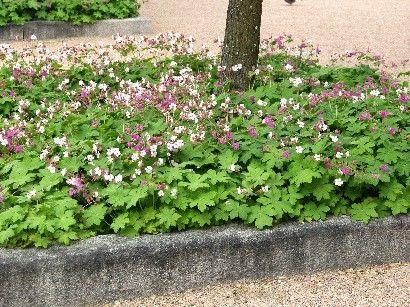 geranium macrorrhizum 39 spessart 39 plantes vivaces plantes shopping jardinerie en ligne. Black Bedroom Furniture Sets. Home Design Ideas