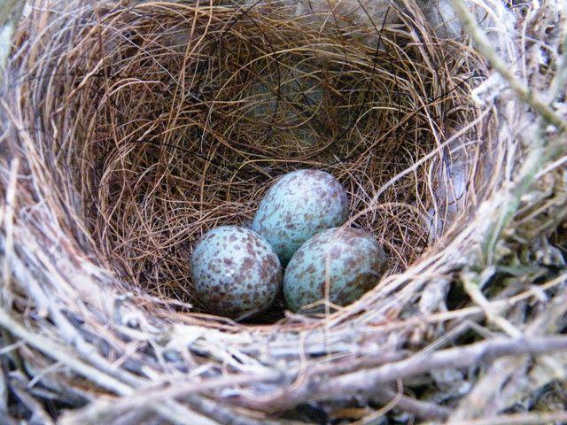 #nest #eggs