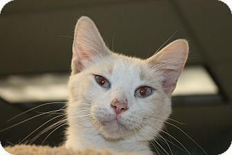 Medina, OH - Siamese. Meet Athena, a cat for adoption. http://www.adoptapet.com/pet/13059346-medina-ohio-cat