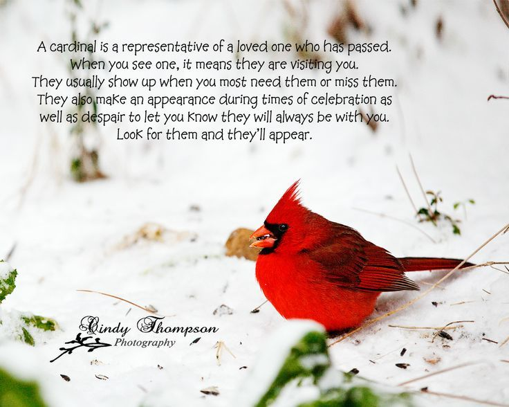 The Red Birds have a special meaning  Cardinals  Quotation