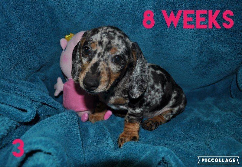 Dachshund Puppy For Sale In Haviland Ks Adn 39425 On Puppyfinder