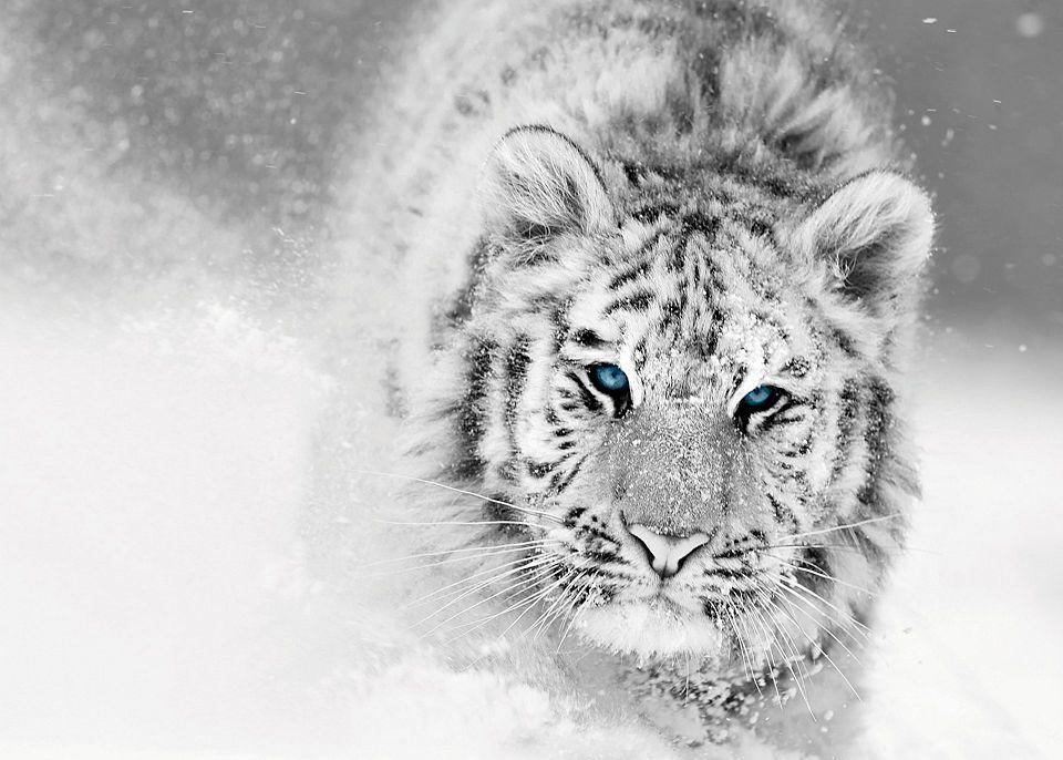 Glasbild »White Tiger « 70/50 cm Jetzt bestellen unter: https ...