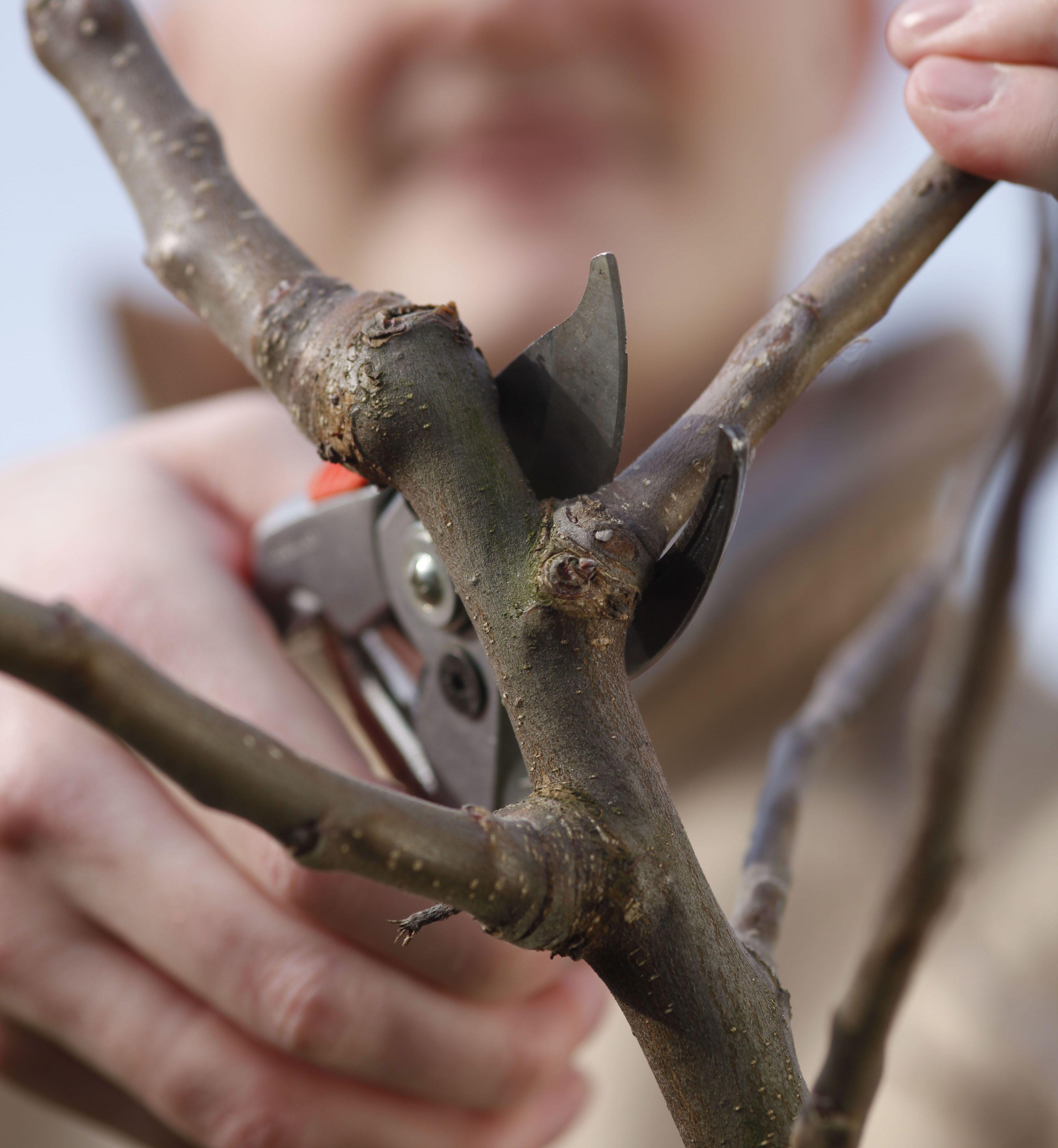 Apfelbaum Schneiden Tipps Fur Jede Baumgrosse Garten Tipps Pinterest