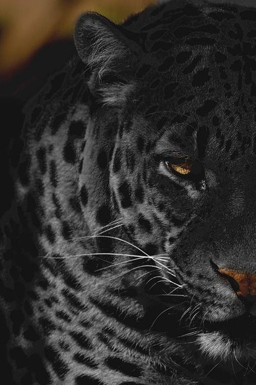 20black Panther Lion King Black Jaguar Animal Jaguar Animal Majestic Animals