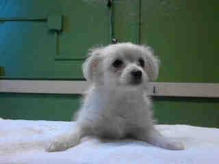 A4713515 I'm an approximately 2 month old female maltese. I am not yet spayed. I have been at the Carson Animal Care Center since May 23, 2014. I will be available on May 28, 2014. You can visit me at my temporary home at C411.  http://www.petharbor.com/pet.asp?uaid=LACO1.A4713515