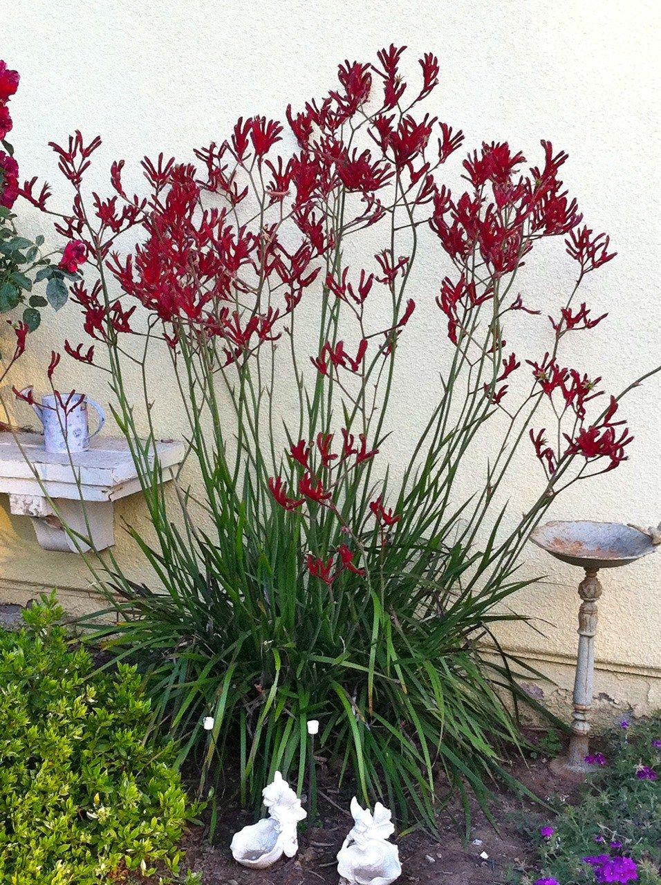 Anigozanthos Red Kangaroo Paw Kangaroo Paw Red Plants Plants