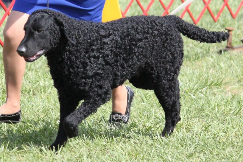 Curly Coated Retriever Curly Coated Retriever Retriever Dogs And Puppies