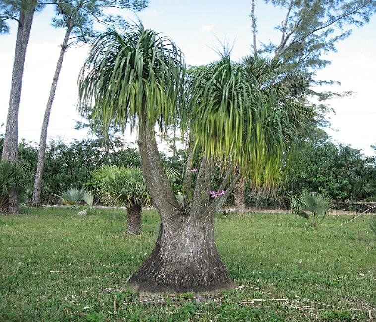 Beaucarnea recurvata pied d 39 l phant plantes int rieures plantes shopping jardinerie en - Plante verte appelee pied d elephant ...
