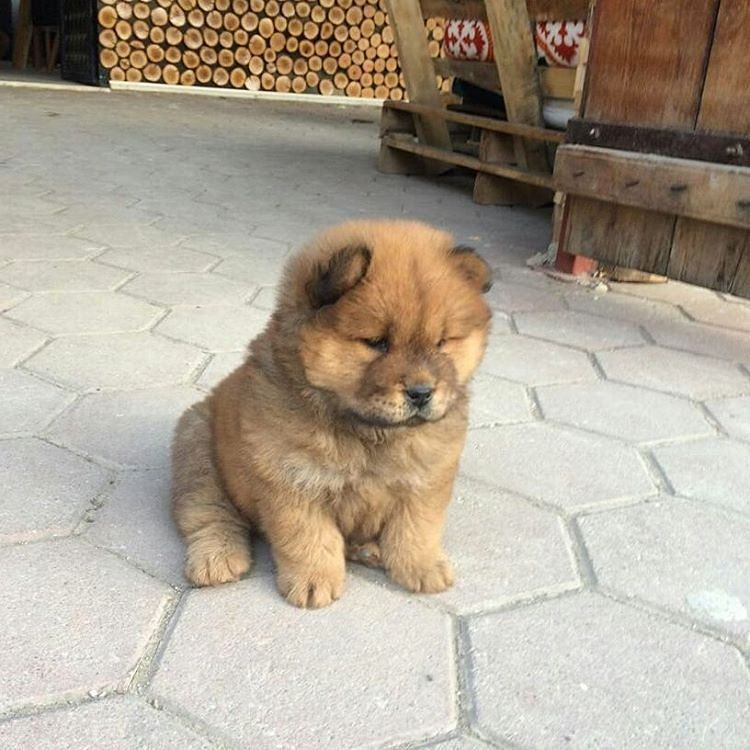 Chow Chow Fluffy Dogs Chow Chow Puppy Fluffy Puppies