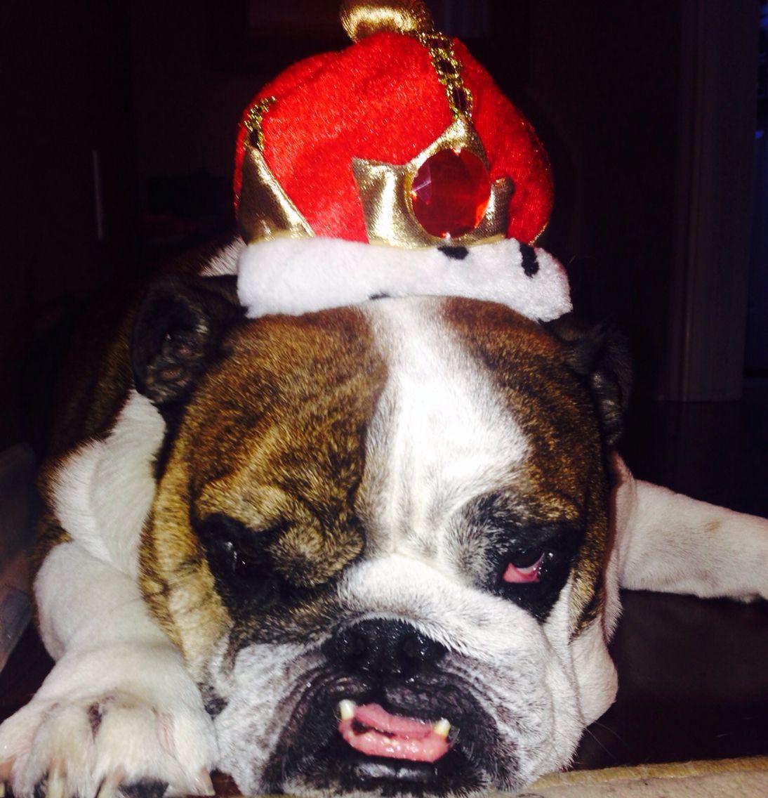 Bulldogs Are King Bigboy My Bulldog Dogs Animals