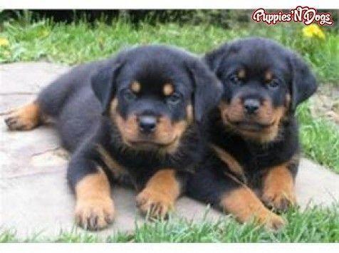 The Confident Rottweiler Puppy Size Rottweilercorner