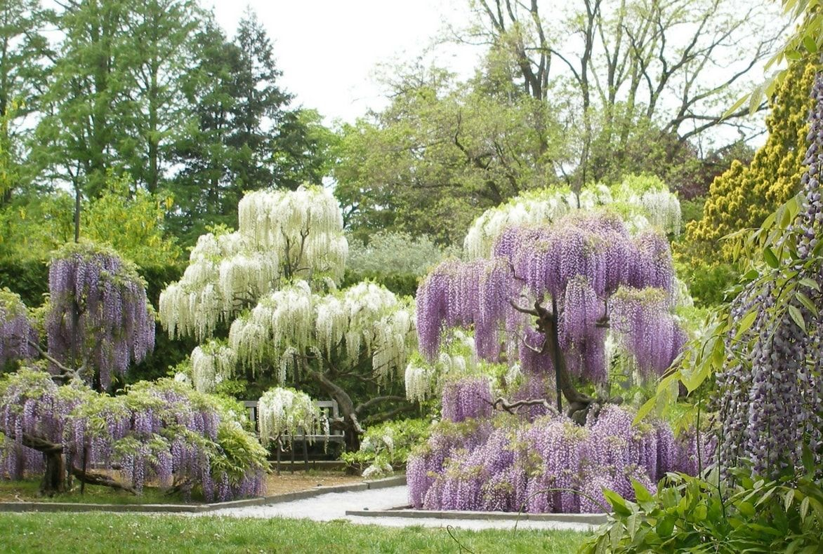 Collectibles 20 Seeds Rare Sky Blue Moon Wisteria Tree Potted