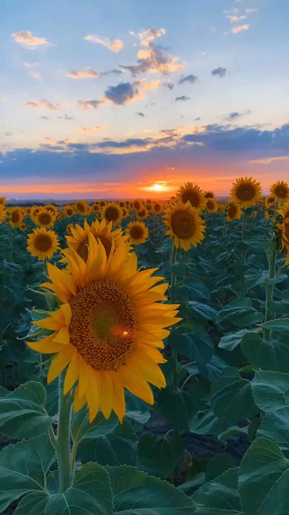 Sunset Aesthetic   Fall Flowers   Sunflower Field in Denver