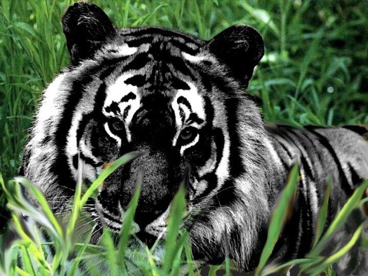 Schwarzer Tiger
