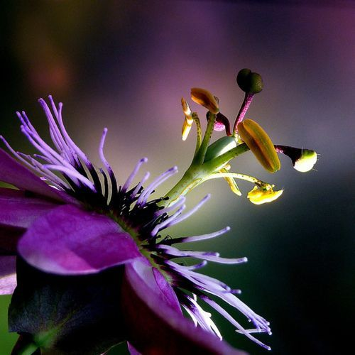 Its Important To Use Joomla Templates passion flowerpassion flower