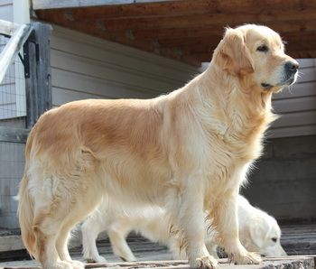 Golden Retriever Dogs And Information In Canada Golden Retriever