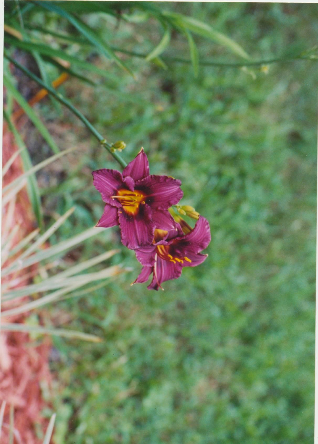 Day Lily - over 200 varieties - what's not to like?
