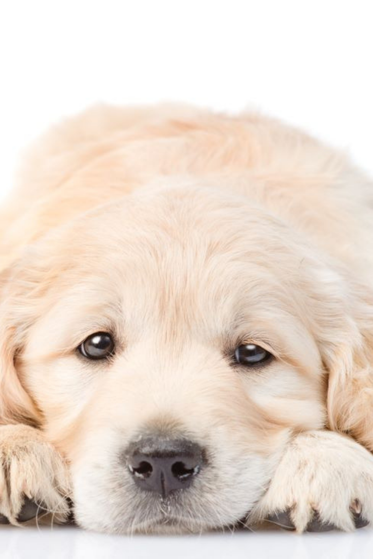 Puppy Put His Head Between Your His Paws Isolated On White Background Goldenretriever Golden Retriever Puppies Dogs