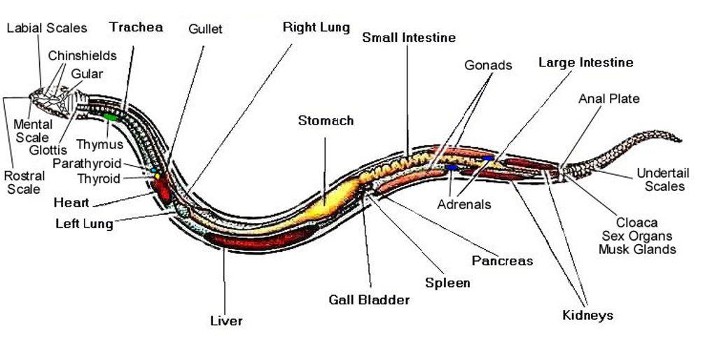 diagram of snake anatomy