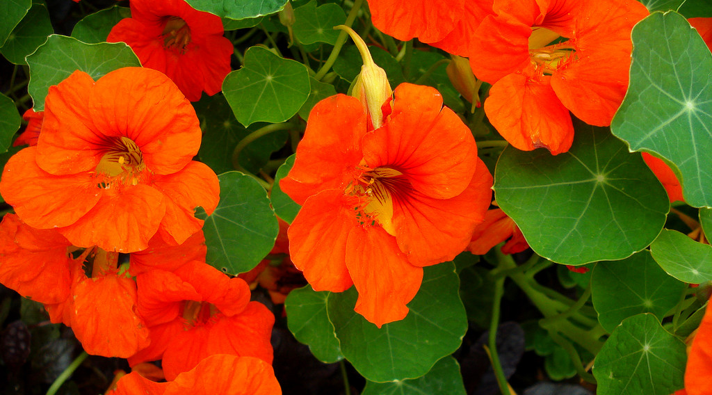 Learn About… Nasturtium Plants, Edible flowers, Insect