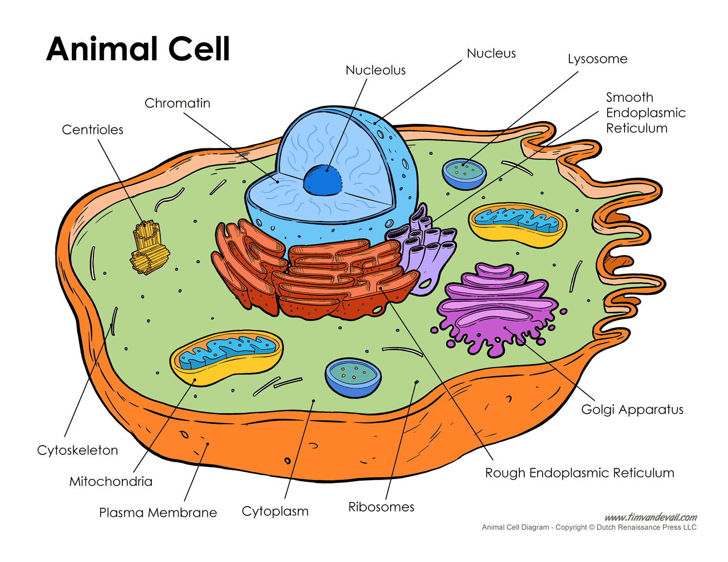 printable labeled and unlabeled animal cell diagrams with list of parts and definitions [ 1500 x 1159 Pixel ]