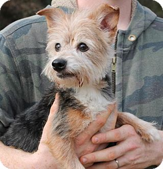 Pin By Misti Kane On Unknown Fate Yorkshire Terrier Pets Dog Love