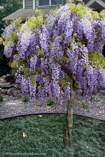 Buy Blue Chinese Wisteria Sinensis Free Shipping 3 Gallon Pot Size Vine For Sale Online From Wilson Bro In 2020 Chinese Wisteria Trees To Plant Small Front Gardens