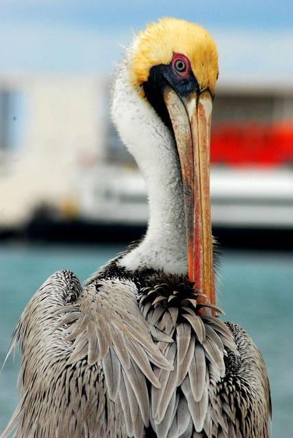 Foto pelicano-pardo (Pelecanus occidentalis) por Douglas Carvalho | Wiki Aves - A Enciclopédia das Aves do Brasil