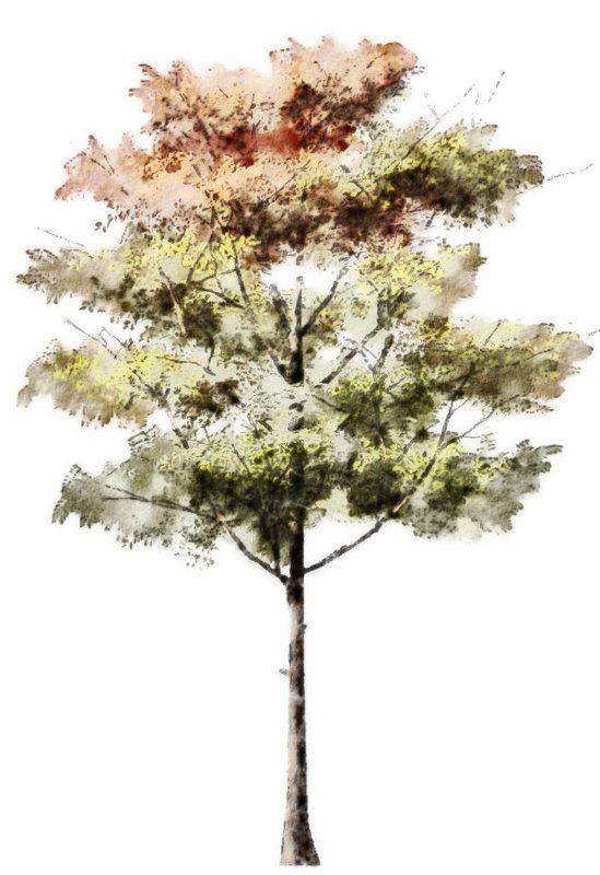 Tree Autumn Elevation Tree Photoshop Watercolor Trees Tree