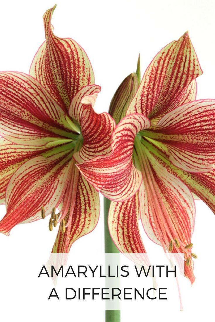 Amaryllis with a difference unusual colors and flower styles the garden blog few flowers are more impressive than a velvety red amaryllis but why stop there today there are many beautiful ways to brighten your izmirmasajfo